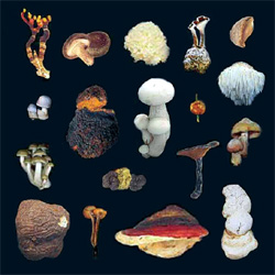 Medecinal Mushrooms