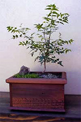 Neem bonsai