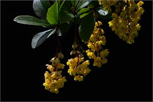 Berberine treats brain cancer better than Temozolomide