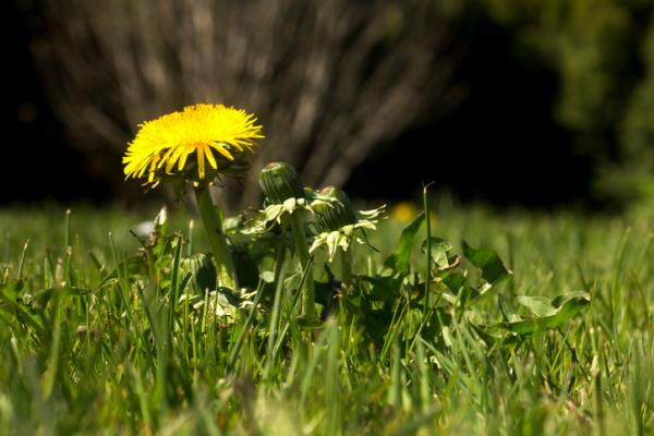 Can Dandelion root (DRE) fight cancer?
