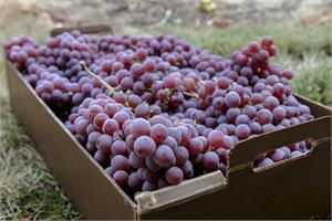 Red grape consumption good in fighting prostate cancer