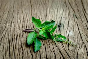 Holy Basil, ursolic acid and cancer