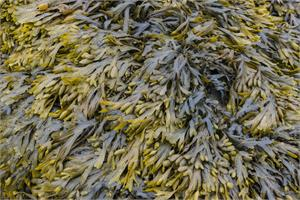 Fucoidan -  anti-cancer ingredient in seaweed