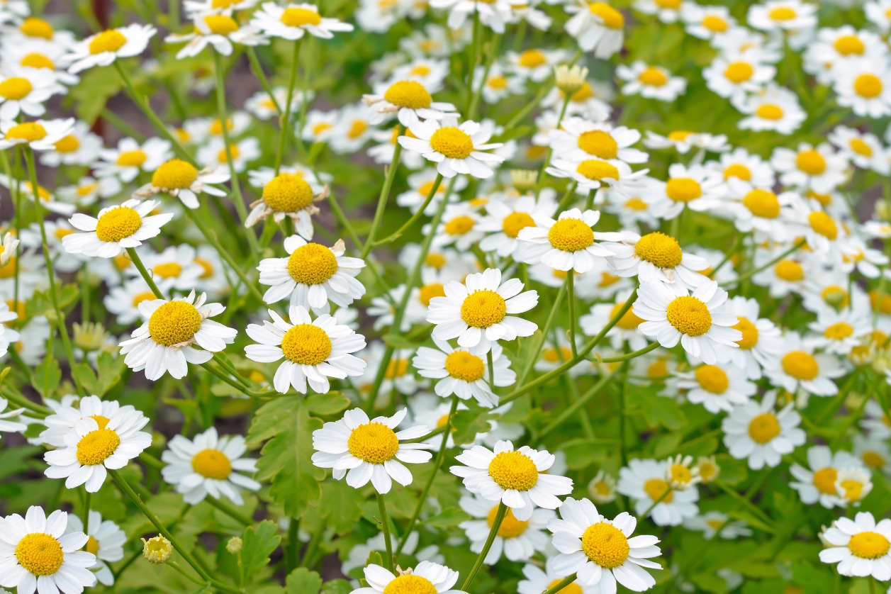 The Truth about Feverfew and cancer