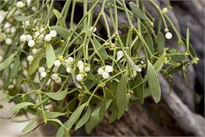 Mistletoe as a cancer treatment - review