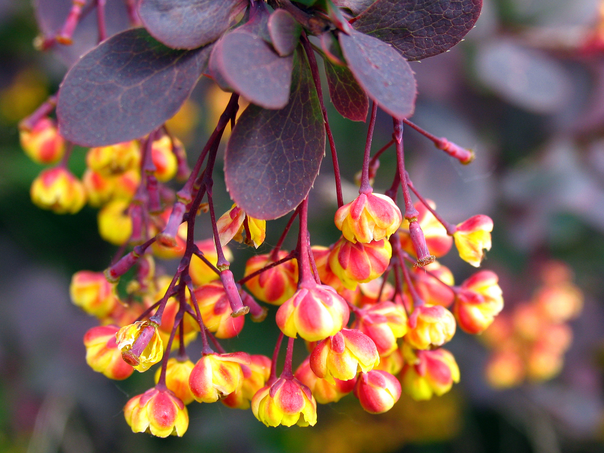 Berberine as a cancer treatment