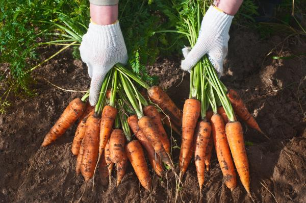 Carrots reduce risk of breast cancer